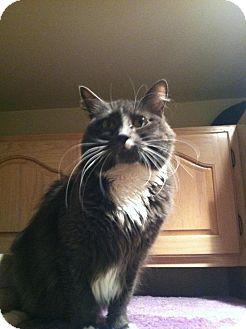 Domestic Longhair Cat for adoption in Columbia, Maryland - Sophie