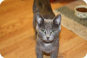 Russian Blue Cat for adoption in St. Louis, Missouri - Marnie