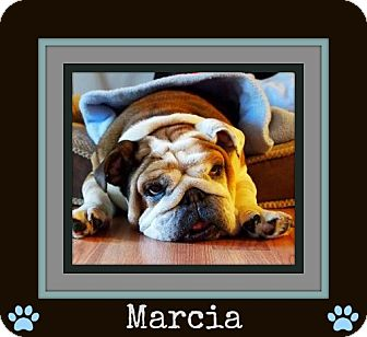 English Bulldog Dog for adoption in Park Ridge, Illinois - Marcia *Adoption Pending!*