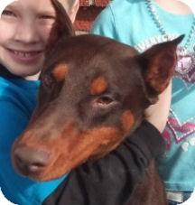 Doberman Pinscher Dog for adoption in Cheney, Kansas - Capone