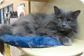 Domestic Longhair Cat for adoption in North Haven, Connecticut - Demi