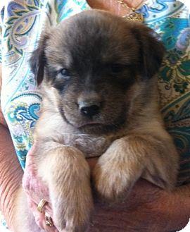 Labrador Retriever/Shepherd (Unknown Type) Mix Puppy for adoption in Nuevo, California - Jill