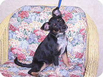 "Sheltie, Shetland Sheepdog/Terrier (Unknown Type, Small) Mix Puppy for adoption in New Castle, Pennsylvania - "" Gigi """
