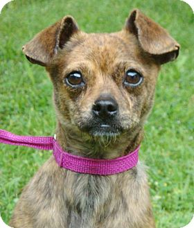 Chihuahua/Terrier (Unknown Type, Small) Mix Dog for adoption in Red Bluff, California - 4-23-14-4