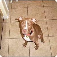 Adopt A Pet :: Raj - Gilbert, AZ