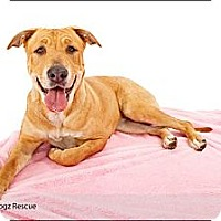 Adopt A Pet :: Lily SWEET Lily - Scottsdale, AZ