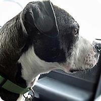 Adopt A Pet :: Bandit-Olde Boston Bulldogge - Chattanooga, TN
