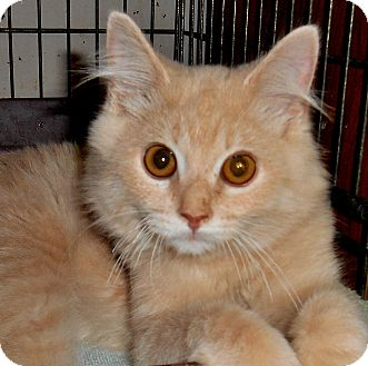 Maine Coon Kitten for adoption in Chattanooga, Tennessee - Eddie