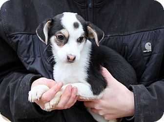 Beagle/Chihuahua Mix Puppy for adoption in Stamford, Connecticut - CURLEY - cute, sweet