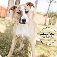 Collie/Shepherd (Unknown Type) Mix Dog for adoption in Cat Spring, Texas - Sandi