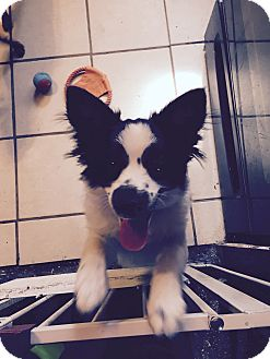 Pomeranian/Spaniel (Unknown Type) Mix Puppy for adoption in Mount Gretna, Pennsylvania - Steve