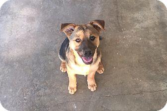 Shepherd (Unknown Type)/Australian Shepherd Mix Puppy for adoption in Studio City, California - Natalie