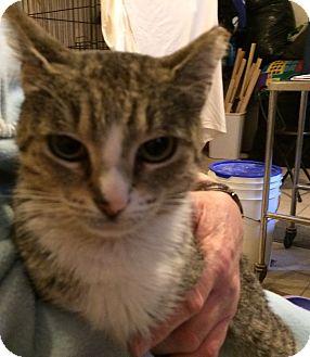 American Shorthair Cat for adoption in Brooklyn, New York - April
