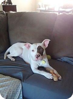 French Bulldog/Bulldog Mix Dog for adoption in HARRISBURG, Pennsylvania - SADIE