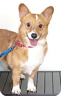Pembroke Welsh Corgi Dog for adoption in Berkeley, California - Gromit