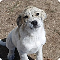 Adopt A Pet :: Spencer - Parker, CO