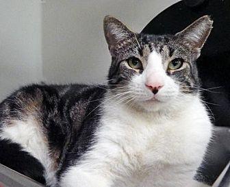 Domestic Shorthair Cat for adoption in Toledo, Ohio - MAX
