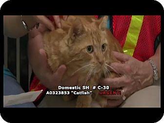 Domestic Shorthair Cat for adoption in Newnan City, Georgia - Catfish