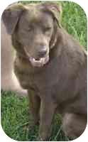 Labrador Retriever Mix Dog for adoption in Brookville, Ohio - Annie (Columbus)