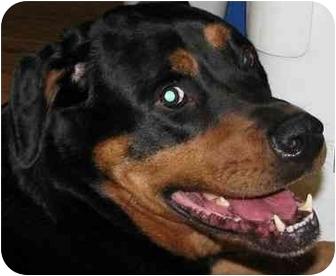 Rottweiler Dog for adoption in Westford, Massachusetts - Moose