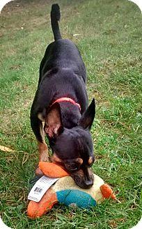 Miniature Pinscher/Jack Russell Terrier Mix Dog for adoption in Worcester, Massachusetts - Hensley