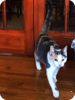 Calico Cat for adoption in brewerton, New York - Bailey
