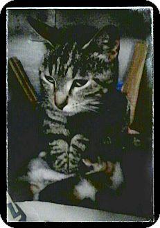 Domestic Shorthair Cat for adoption in Trevose, Pennsylvania - Karoke