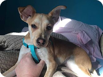 Whippet/Chihuahua Mix Dog for adoption in Brattleboro, Vermont - Mark (reduced fee)