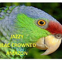 Adopt A Pet :: Jazzy The Lilac Crowned Amazon - Vancouver, WA