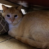 Domestic Shorthair Cat for adoption in Canon City, Colorado - White Cloud