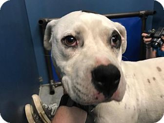 Dalmatian Mix Dog for adoption in Henderson, North Carolina - Maddie