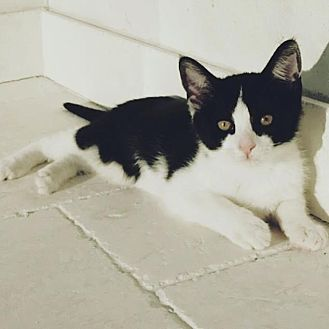 Domestic Shorthair Kitten for adoption in Los Angeles, California - Coco