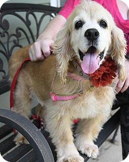 Cocker Spaniel Dog for adoption in Gulfport, Mississippi - Bindi