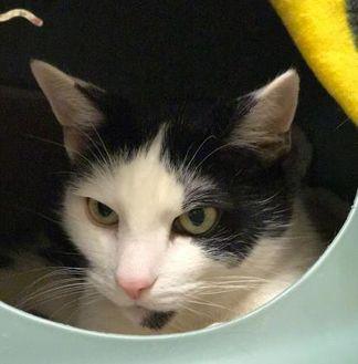 Domestic Shorthair/Domestic Shorthair Mix Cat for adoption in Merriam, Kansas - Taloose