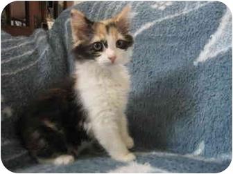 Domestic Longhair Kitten for adoption in Irvine, California - JuJuBee