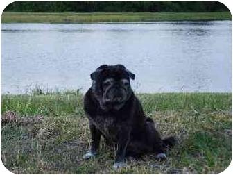Pug Dog for adoption in Tampa, Florida - Max & Mabel