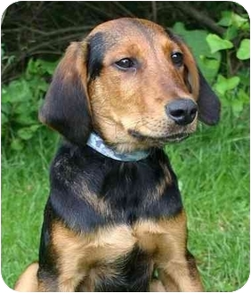 Black and Tan Coonhound Mix Puppy for adoption in Ladysmith, Wisconsin - D0566