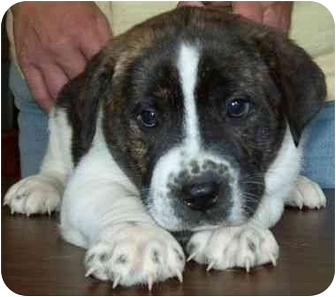 Boxer Mix Puppy for adoption in North Judson, Indiana - Libby