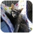 Photo 2 - Russian Blue Kitten for adoption in Colmar, Pennsylvania - Andrea