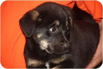 Rottweiler Mix Puppy for adoption in Prince William County, Virginia - madonna