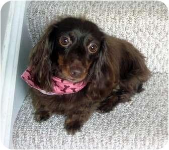 Dachshund Dog for adoption in Overland Park, Kansas - KoKo