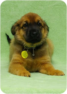 Shepherd (Unknown Type) Mix Puppy for adoption in Westminster, Colorado - BALOO