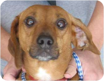 Dachshund/Terrier (Unknown Type, Small) Mix Dog for adoption in Muskogee, Oklahoma - Presley-Hobo