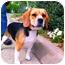 Photo 1 - Beagle Mix Dog for adoption in Alexandria, Virginia - Luna