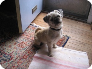 Brussels Griffon Mix Dog for adoption in Alexandria, Virginia - Coco