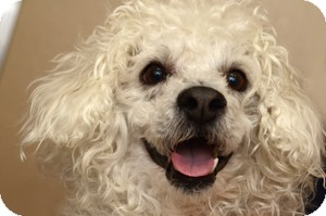 Poodle (Miniature) Mix Dog for adoption in Naperville, Illinois - Bogart