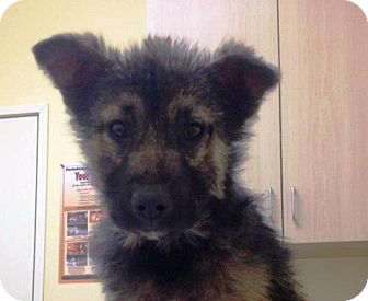 German Shepherd Dog Mix Puppy for adoption in Apple Valley, California - Quincy
