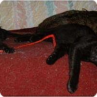 Adopt A Pet :: Faerie (Little Fae) - Farmington, AR