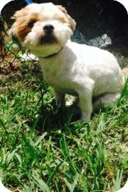 Shih Tzu Mix Dog for adoption in Miami, Florida - Royce