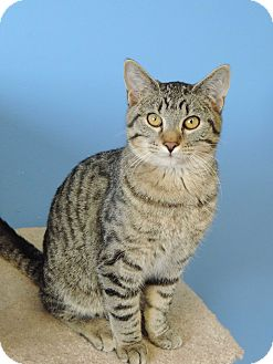 Domestic Shorthair Kitten for adoption in Brookings, South Dakota - Mo